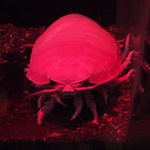 Bathynomus giganteu - olbrzymi isopod 11