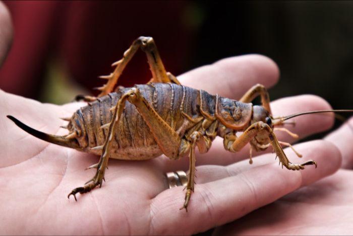 Największe owady 19
