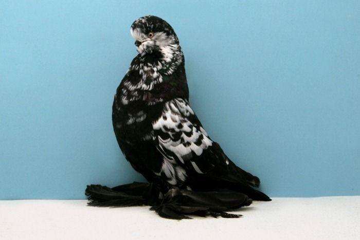 Nieco inne gołębie 1